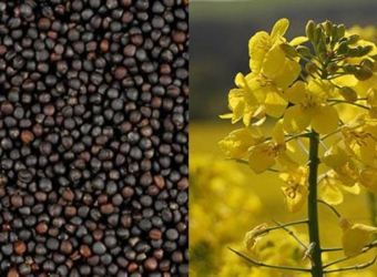 Analysis of the Rapeseed Market and Opportunities for Biodiesel Production in Ukraine, Potential of Rapeseed Cultivation and Processing – 2006